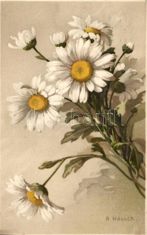 Margaréte, virág, s: A. Haller, Meissner & Buch, litho, Oxeye daisy, flower, s: A. Haller, Meissner & Buch, litho