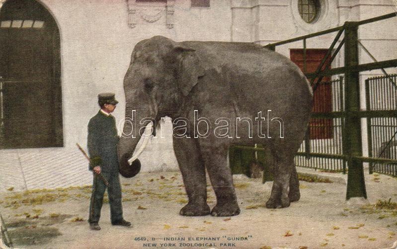 Indian elephant, New York Zoological Park, Indiai elefánt, New York Állatkert