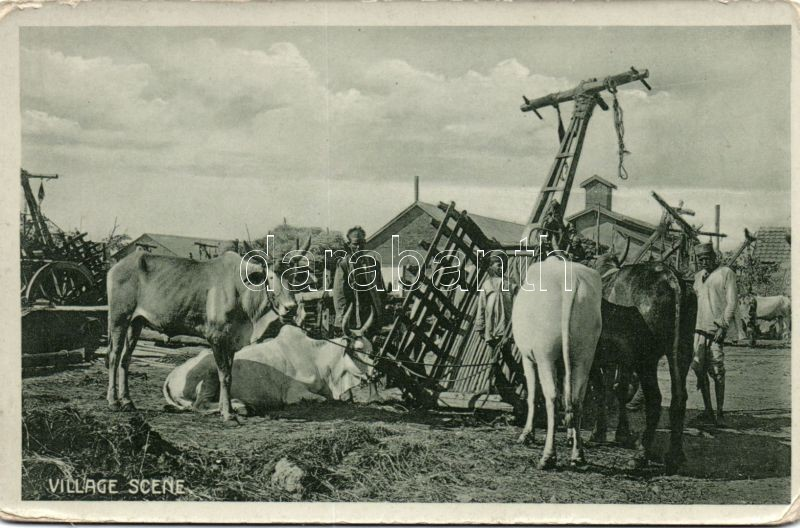 Indian village scene with bulls