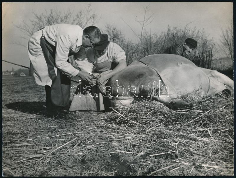 cca 1955 Mező Sándor (?-?) budapesti fotóriporter felvétele egy állatorvosi beavatkozásról, pecséttel jelzett, 18x24 cm