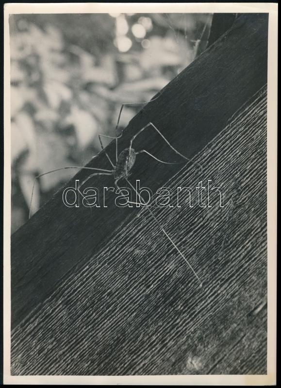cca 1934 Kinszki Imre (1901-1945) budapesti fotóművész pecséttel jelzett vintage fotóművészeti alkotása (Kaszáspók), 18x13 cm