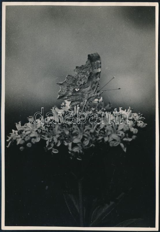 cca 1936 Kinszki Imre (1901-1945) budapesti fotóművész pecséttel jelzett, feliratozott, vintage fotóművészeti alkotása (Verőce, pillangó), 16,5x11,5 cm