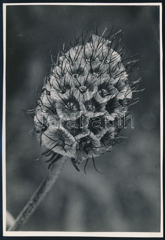 cca 1936 Kinszki Imre (1901-1945) budapesti fotóművész hagyatékából, pecséttel jelzett vintage fotó (Közelkép egy virágról), 16,8x11,5 cm