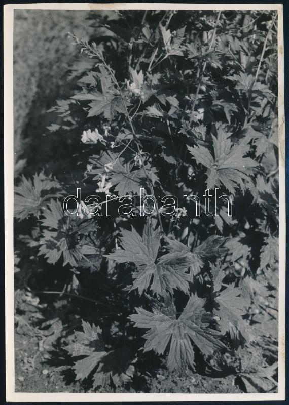 cca 1932 Kinszki Imre (1901-1945) budapesti fotóművész hagyatékából, jelzés nélküli, de a szerző által feliratozott vintage fotó (Aconitum Iycoctonum), 16,9x12 cm