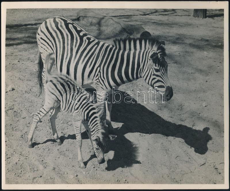 cca 1933 Kinszki Imre (1901-1945) budapesti fotóművész hagyatékából vintage fotóművészeti alkotás (Pardalis), 18,2x22 cm