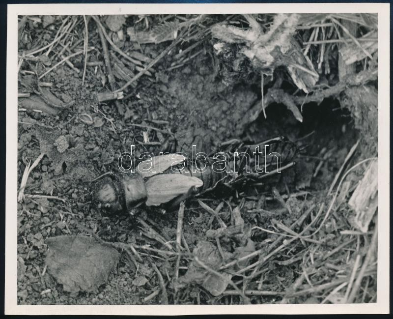 cca 1933 Kinszki Imre (1901-1945) budapesti fotóművész hagyatékából, pecséttel jelzett vintage fotó (lódarázs), 12x14,8 cm