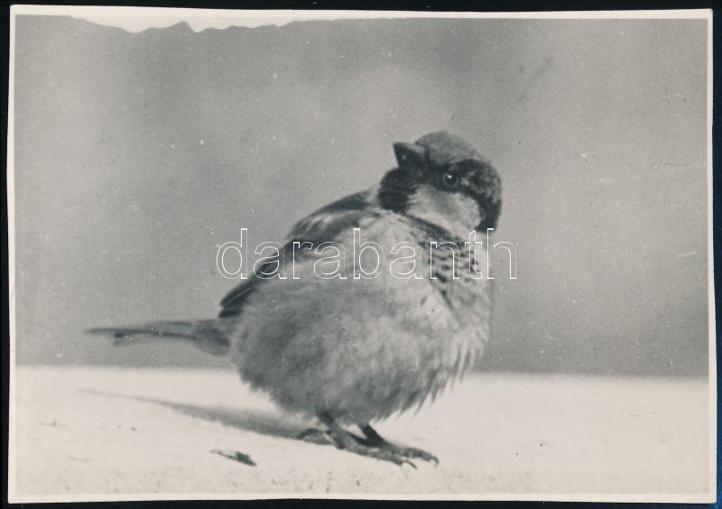 cca 1931 Kinszki Imre (1901-1945) budapesti fotóművész hagyatékából, a szerző által feliratozott, pecséttel jelzett vintage fotó (Házi veréb hímje), 8x11,3 cm