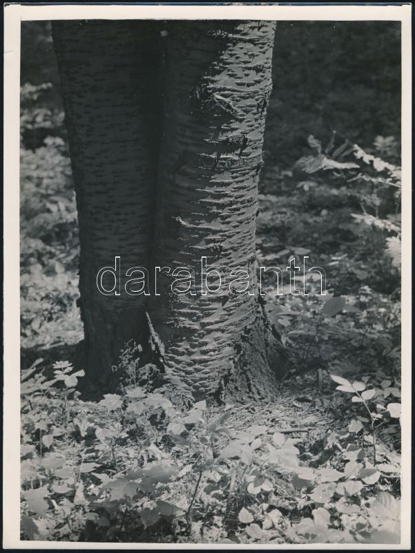 cca 1936 Kinszki Imre (1901-1945) budapesti fotóművész hagyatékából, pecséttel jelzett vintage fotóművészeti alkotás (ikerfák), 24x18 cm