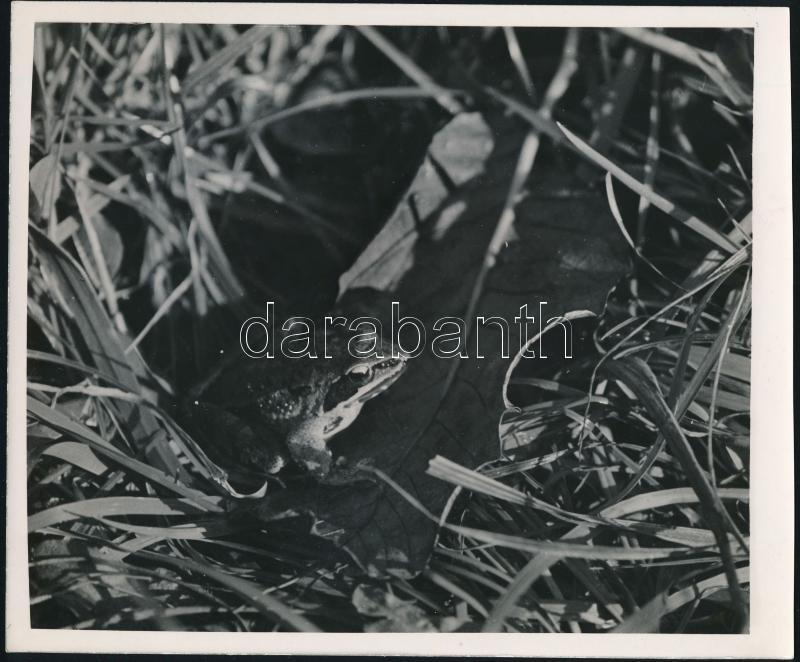 cca 1933 Kinszki Imre (1901-1945) budapesti fotóművész hagyatékából, pecséttel jelzett vintage fotóművészeti alkotás (béka), 18x21,5 cm