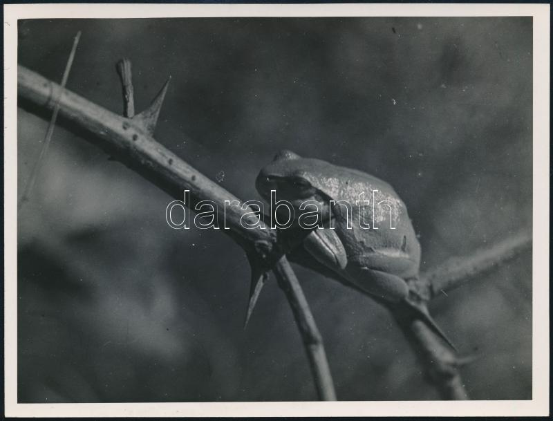 cca 1934 Kinszki Imre (1901-1945) budapesti fotóművész hagyatékából, pecséttel jelzett vintage fotó (Béka), 12,2x16,1 cm