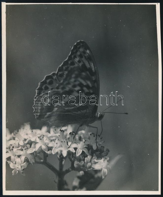 cca 1933 Kinszki Imre (1901-1945) budapesti fotóművész hagyatékából, feliratozott vintage fotó (Pillangó), 15,3x12,5 cm