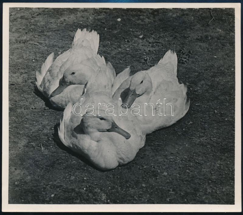 cca 1935 Kinszki Imre (1901-1945) budapesti fotóművész pecséttel jelzett vintage fotóművészeti alkotása (Három kacsa), 13x14,7 cm