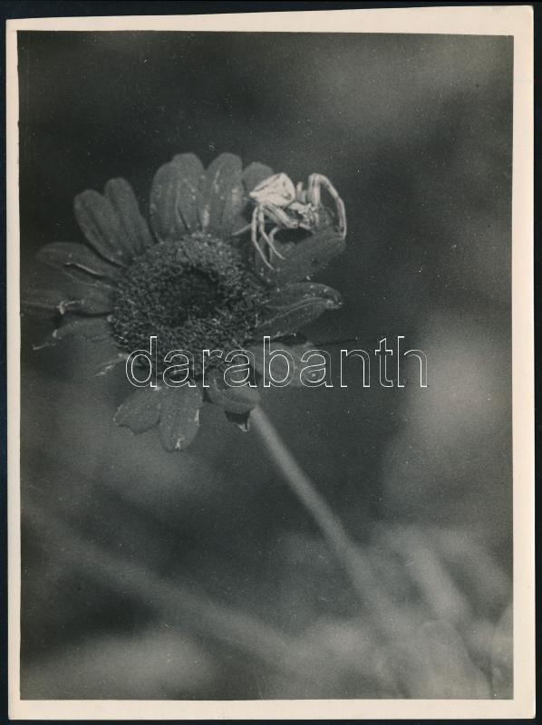 cca 1934 Kinszki Imre (1901-1945) budapesti fotóművész pecséttel és aláírással jelzett vintage fotóművészeti alkotása (Virágpók a Mátyás-hegyen), 17,2x13 cm