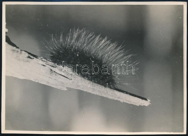 cca 1933 Kinszki Imre (1901-1945) budapesti fotóművész által feliratozott, vintage fotó a szerző hagyatékából (Papmacska), 17,2x12,6 cm