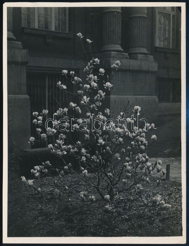 cca 1934 Kinszki Imre (1901-1945) budapesti fotóművész hagyatékából, pecséttel jelzett és a szerző által feliratozott vintage fotó (Nyíló magnólia), 16,8x12,8 cm