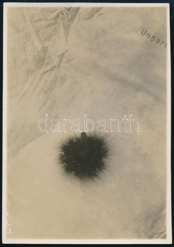 cca 1929 Kinszki Imre (1901-1945) budapesti fotóművész hagyatékából, a szerző által feliratozott vintage fotó (Raupe), 8,3x5,6 cm