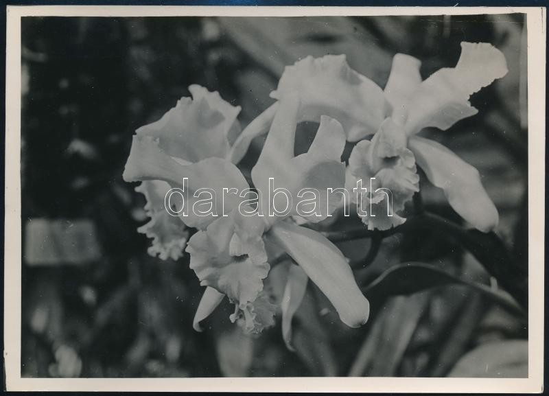 cca 1936 Kinszki Imre (1901-1945) budapesti fotóművész hagyatékából, pecséttel jelzett vintage fotó (Orchidea), 18x13 cm