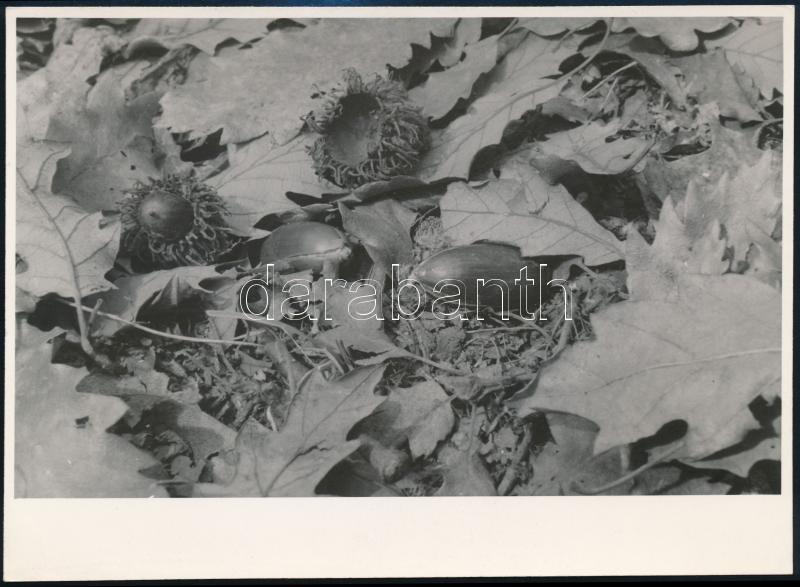 cca 1935 Kinszki Imre (1901-1945) budapesti fotóművész hagyatékából, pecséttel jelzett és a szerző által feliratozott vintage fotó (Csírázik a makk az erdei avarban), 12,6x17,3 cm