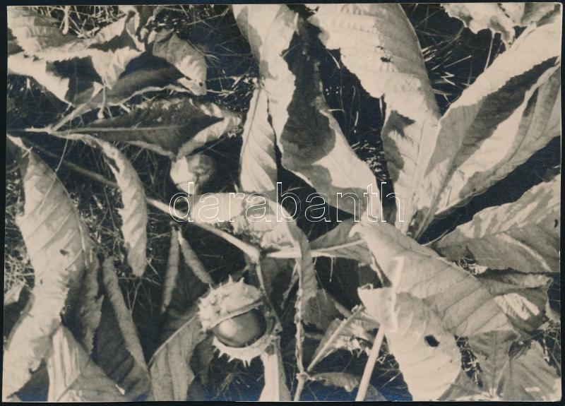 cca 1935 Kinszki Imre (1901-1945) budapesti fotóművész hagyatékából, jelzés nélküli, vintage fotó (Gesztenye), 11,6x16,3 cm