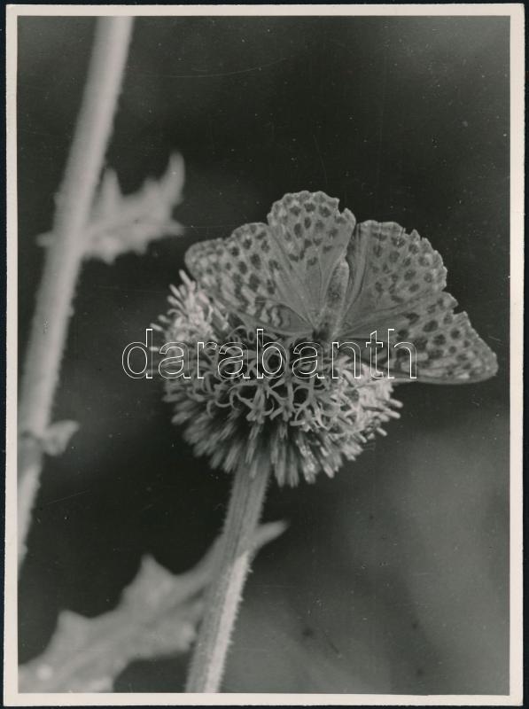 cca 1930 Kinszki Imre (1901-1945) budapesti fotóművész hagyatékából, feliratozott vintage fotó (Pillangó), 11,5x8,5 cm