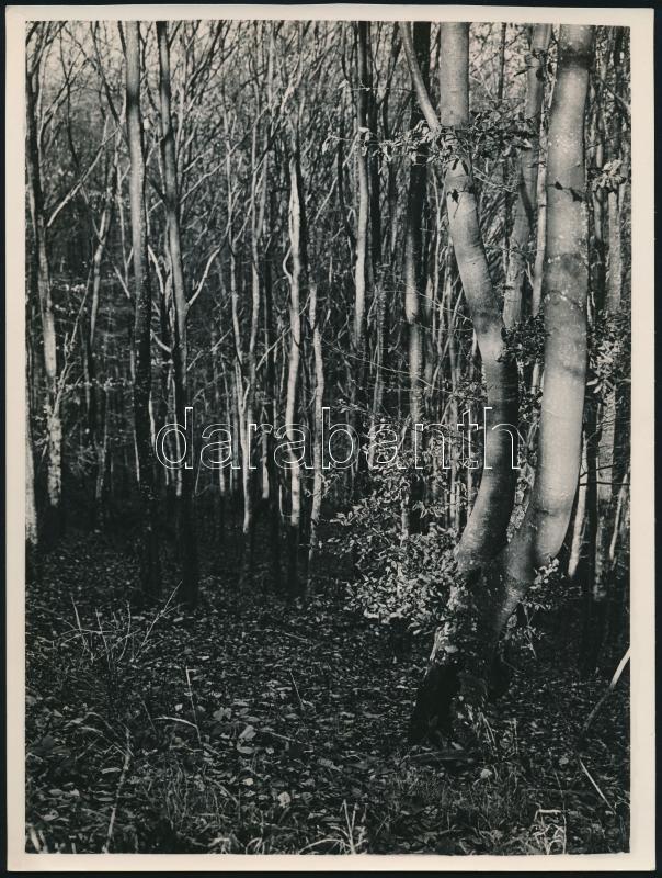 cca 1933 Kinszki Imre (1901-1945) budapesti fotóművész hagyatékából jelzés nélküli, vintage fotóművészeti alkotás (Fiatal erdő), 24x18 cm