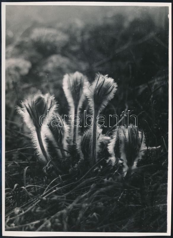 cca 1932 Kinszki Imre (1901-1945) budapesti fotóművész hagyatékából, jelzés nélküli vintage fotóművészeti alkotása (Mezei növények ellenfényben), 15,8x11,5 cm