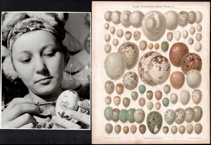 cca 1965 Tojásfestés, vintage fotó jelzés nélkül + hozzáadva a Meyers Lexikonból kiemelt illusztrációt, az európai madarak tojásairól, fotó 24x18 cm, színes nyomat 29x24 cm