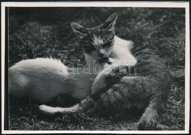 cca 1937 Kinszki Imre (1901-1945) budapesti fotóművész hagyatékából pecséttel jelzett vintage fotó (Éhes a kiscica), 12x17 cm