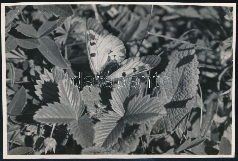 cca 1935 Kinszki Imre (1901-1945) budapesti fotóművész hagyatékából, feliratozott vintage fotó (Lepke), 17x11,5 cm