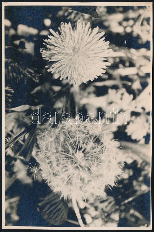 cca 1935 Kinszki Imre (1901-1945) budapesti fotóművész hagyatékából jelzés nélküli vintage fotó (Mezei virág), 17,3x11,6 cm