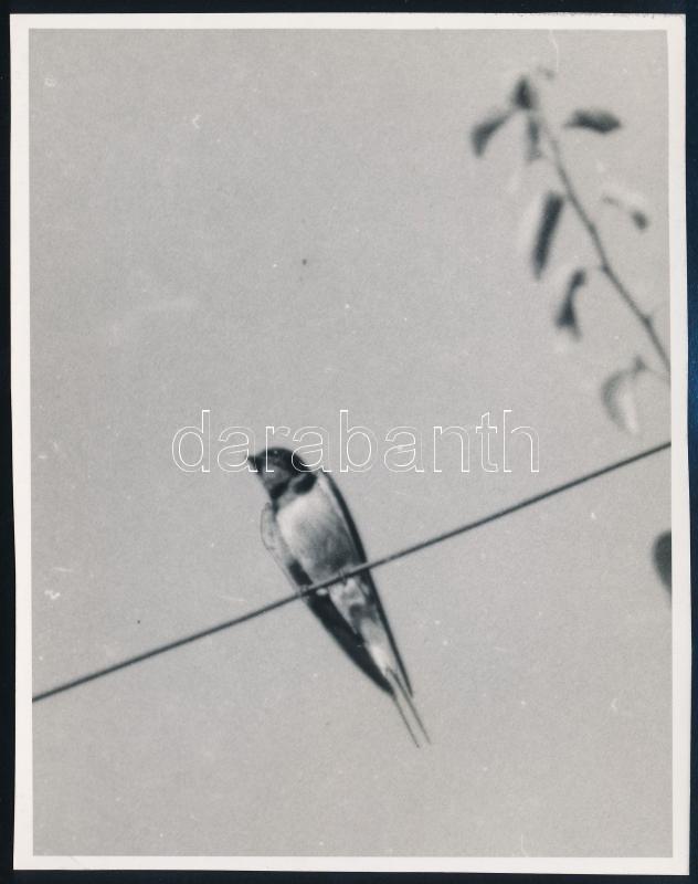 cca 1931 Kinszki Imre (1901-1945) budapesti fotóművész hagyatékából, pecséttel jelzett vintage fotó (fecske), 15x11,8 cm