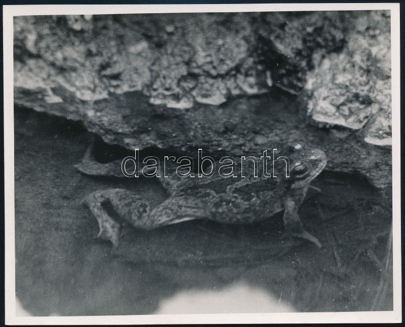 cca 1934 Kinszki Imre (1901-1945) budapesti fotóművész hagyatékából, a szerző által feliratozott, vintage fotó (Ásóbéka), 12x14,8 cm