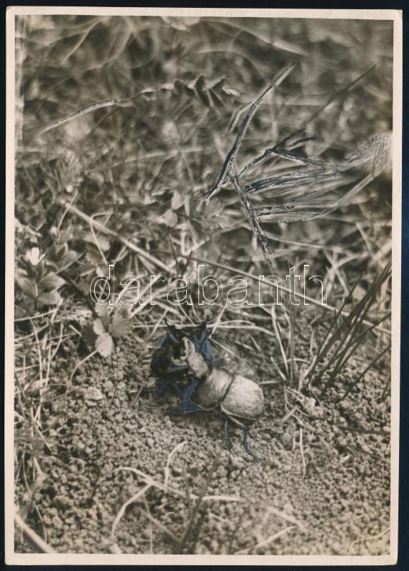 cca 1935 Kinszki Imre (1901-1945) budapesti fotóművész hagyatékából, pecséttel jelzett és a szerző által feliratozott vintage fotó (Csajkó, verekedő hímek), kontúrok retussal erősítve, 17,6x12,7 cm