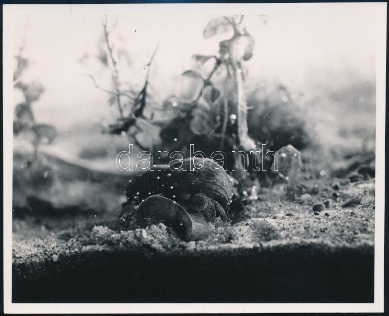 cca 1933 Kinszki Imre (1901-1945) budapesti fotóművész hagyatékából pecséttel jelzett vintage fotó (akvárium), 12,1x15 cm