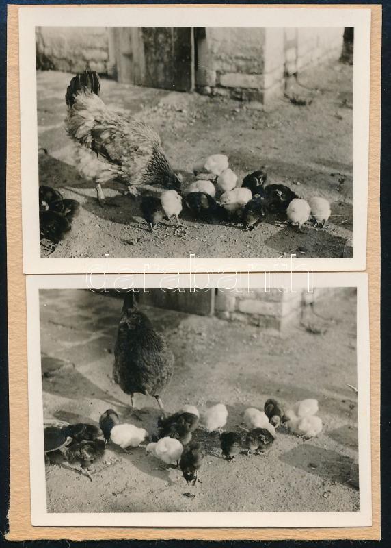 cca 1936 Kinszki Imre (1901-1945) budapesti fotóművész hagyatékából, 2 db jelzés nélküli vintage fotó (tyúkanyó csibékkel), 4,2x5,8 cm