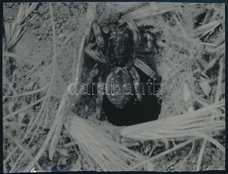cca 1930 Kinszki Imre (1901-1945) budapesti fotóművész hagyatékából, pecséttel jelzett vintage fotó (pók), 6,2x8,2 cm