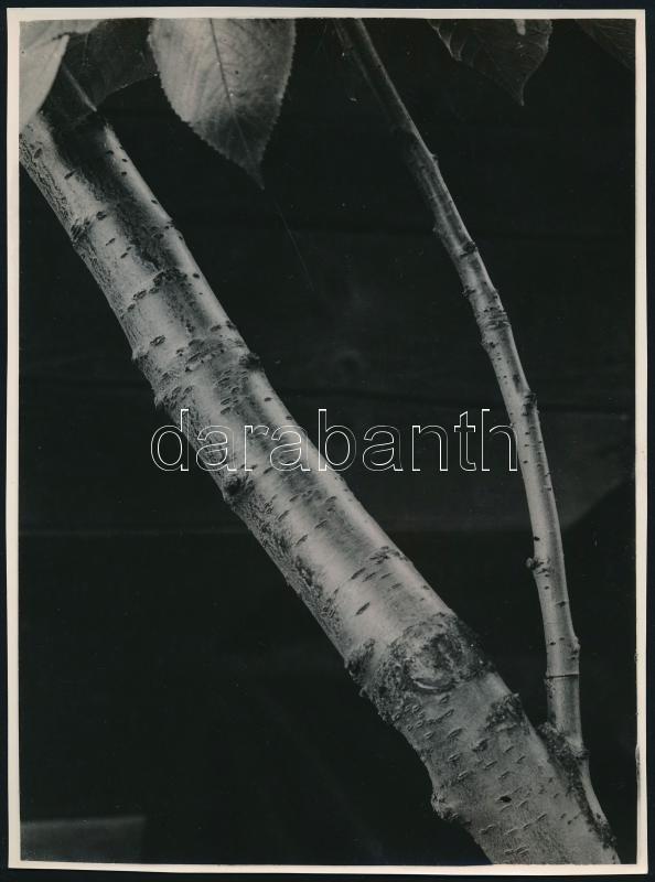 cca 1935 Kinszki Imre (1901-1945) budapesti fotóművész hagyatékából 1db vintage fotó, jelzés nélkül (faág), 23,2x17,3 cm