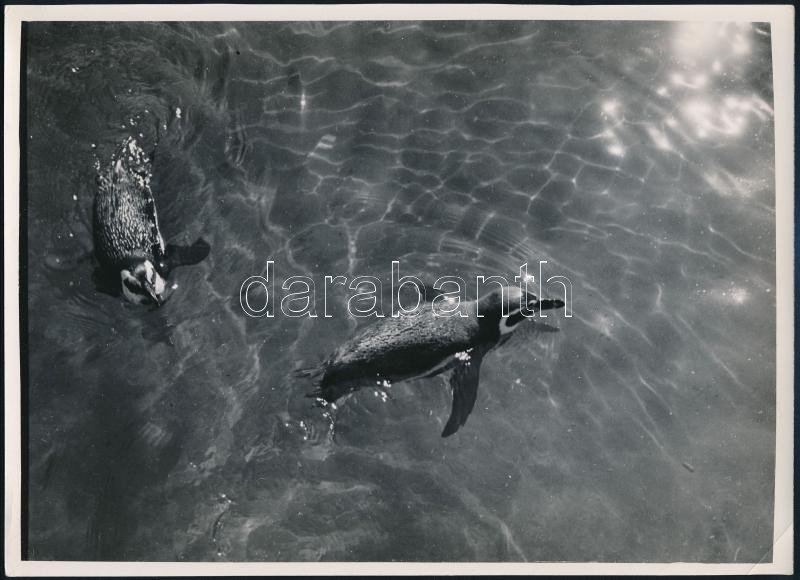 cca 1933 Kinszki Imre (1901-1945) budapesti fotóművész hagyatékából, pecséttel jelzett és aláírt vintage fotó (pingvinek), a kép sarkán törésvonal), 17,5x24,2 cm