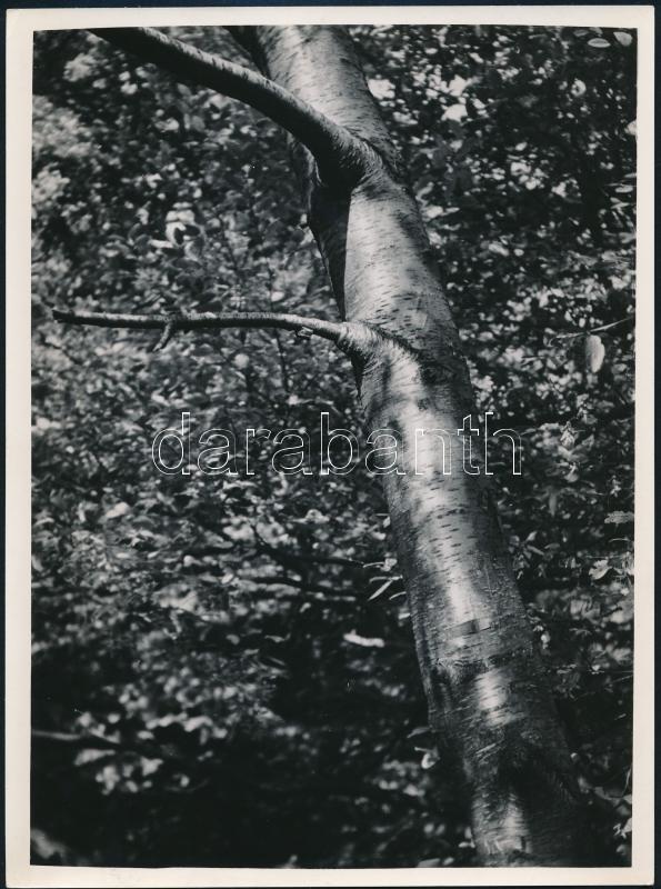 cca 1933 Kinszki Imre (1901-1945) budapesti fotóművész hagyatékából, jelzés nélküli vintage fotó (fiatal fa), 24x18 cm