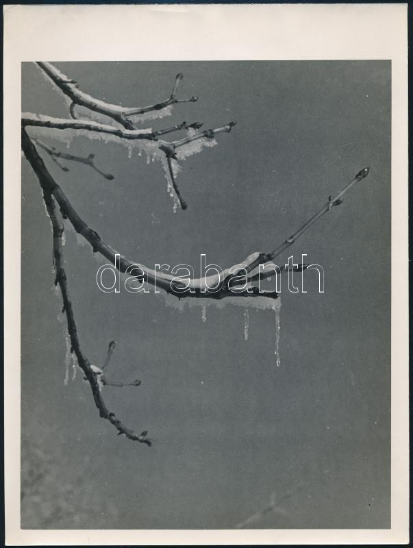 cca 1934 Kinszki Imre (1901-1945) budapesti fotóművész hagyatékából, jelzés nélküli vintage fotó (elfagyott rügyek), 24x18 cm