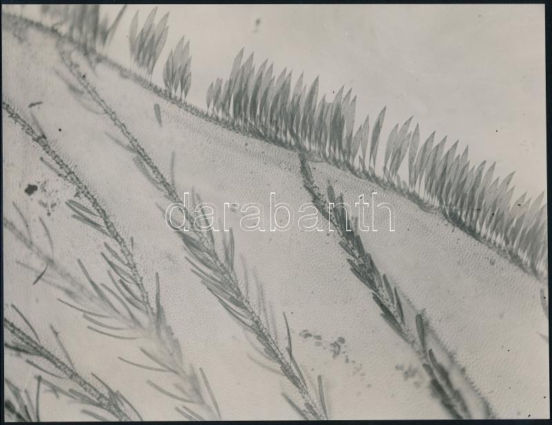 cca 1935 Kinszki Imre (1901-1945) budapesti fotóművész hagyatékából pecséttel jelzett vintage fotó (Culex pipiens), 16,7x21,5 cm