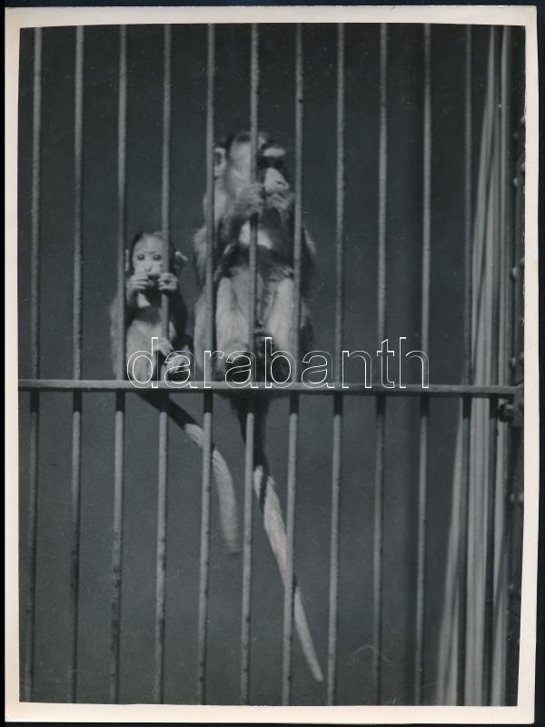 cca 1935 Kinszki Imre (1901-1945) budapesti fotóművész hagyatékából, pecséttel jelzett vintage fotó (koronás majom), 24x18 cm