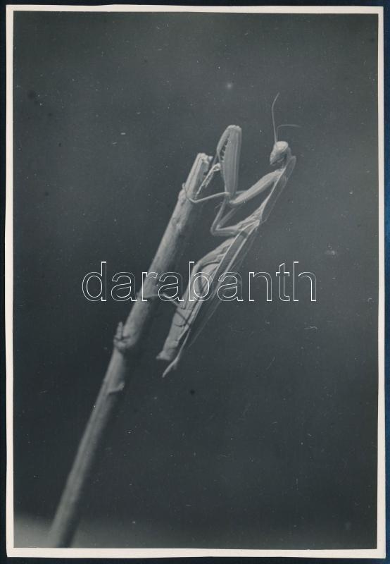 cca 1935 Kinszki Imre (1901-1945) budapesti fotóművész hagyatékából, pecséttel jelzett vintage fotóművészeti alkotás (az ág végén), 16,7x11,4 cm