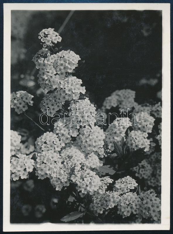 cca 1933 Kinszki Imre (1901-1945) budapesti fotóművész hagyatékából, jelzés nélküli vintage fotó (virágos bokor), 6,5x8,8 cm