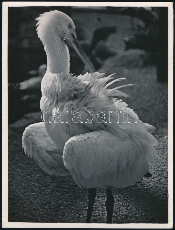 cca 1934 Kinszki Imre (1901-1945) budapesti fotóművész hagyatékából pecséttel jelzett vintage fotó (Spoon heron), minden sarkán törésvonal, 24x18 cm