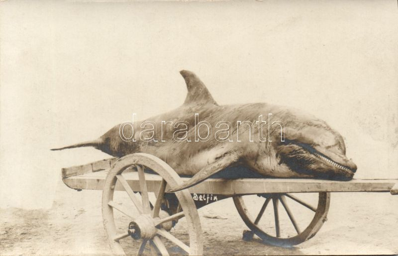 Dolphin photo, Delfin photo