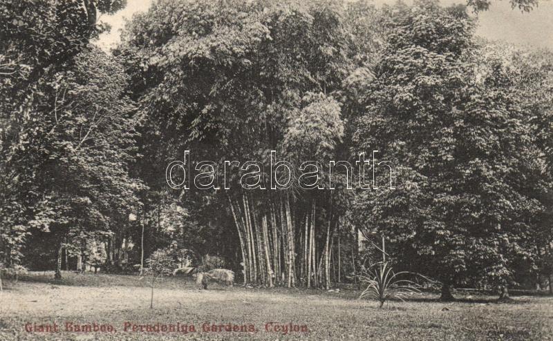 Kandy Peradeniya, Royal Botanical Garden, giant bamboo