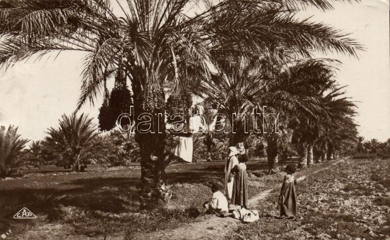Moroccan folklore, Date harvest, Marokkói folklór, datolya szüretelés