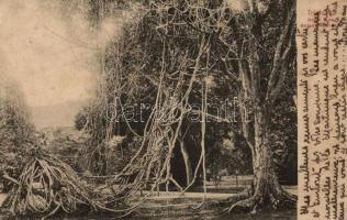 Port of Spain, Botanic Garden, rope tree