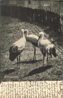 Storks, Gólyák